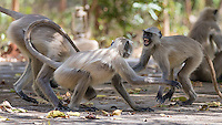 Gray langurs fight outside one of my hotels in central India.