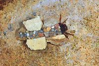 Köcherfliege, Larve in ihrem Köcher aus Sand und Steinchen, Silo nigricornis, Köcherfliegen, caddisfly, larva, sedge-fly, rail-fly, caddisflies, sedge-flies, rail-flies, Trichoptera