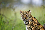 Portrait of sitting leopard in Masai Mara, Kenya