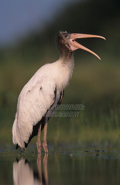 Wood Stork, Mycteria americana,immature preening, Lake Corpus Christi, Texas, USA