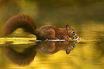 A squirrel leaps athletically from a pond after retrieving a fallen acorn.  A group of red squirrels hunt for acorns and nuts which have fallen into the water from overhanging trees.<br /> <br /> Having obtained their treasured food, the squirrels leap again onto dry land, wary of nearby predators such as hawks.  The photographs were taken in Drunen, in the Netherlands, by nature and travel photographer Marta Demarteau.  SEE OUR COPY FOR DETAILS.<br /> <br /> Please byline: Marta Demarteau/Solent News<br /> <br /> © Marta Demarteau/Solent News & Photo Agency<br /> UK +44 (0) 2380 458800