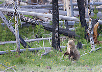 A young grizzly bear stands to get a better view.