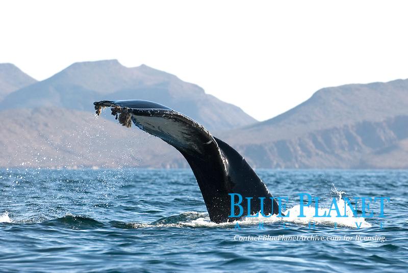 Humpback whale (megaptera novaeangliae) Gulf of California.The tail of a humpback whale abd barnacles., Baja California, Mexico, Pacific Ocean