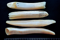 dugong tusks, Dugong dugon, from young ( top ) and old males, Noumea, New Caledonia ( Kalaky ), Pacific Ocean