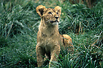 Woodland park zoo lion safari habitat with baby lion looking up Seattle, Washington State USA.