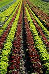 Gemüsegärtnerei, Gemuesegaertnerei, Gemuese, Gemüse, Feld, Acker, Buchs, St. Gallen, Schweiz