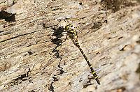 Zweigestreifte Quelljungfer, Männchen, Cordulegaster boltonii, Cordulegaster annulatus, Cordulegaster boltoni, Golden-ringed dragonfly, golden ringed dragonfly, male
