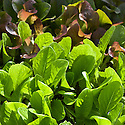 Baby-leaf 'Dazzle', 'Little Gem Pearl', and 'Tin Tin' lettuces.