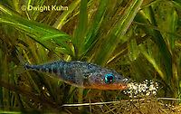 1S26-500z  Male Threespine Stickleback spitting sand onto nest,  Mating colors showing bright red belly and blue eyes,  Gasterosteus aculeatus,  Hotel Lake British Columbia