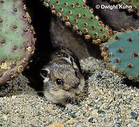 MU31-031z  Silky Pocket Mouse among desert cactus habitat - Perognathus flavus
