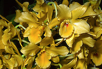 Dendrobium Golden Blossom 'Venus' HCC/AOS orchid hybrid Dendrobium Golden Eagle x Dendrobium Dream