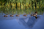 A  female goldeneye swims in a pond in Grand Teton National Park with her ducklings.