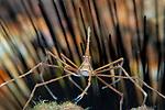 Arrow crab, Stenorhynchus seticornis