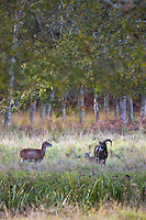 Europe/France/Centre/41/Loir-et-Cher/Sologne/Chambord: Mouflon corse  dans le Parc de Chambord -  // France, Loir et Cher, Loire Valley listed as World Heritage by UNESCO, Chateau de Chambord : Corsican mouflon in the park