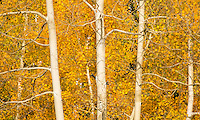 What appealed to me in this scene was what I call the 'rhythm' of the aspen tree limbs.