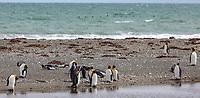 South America, Chile, Region de Magellanes y de la Antartica Chilena,Parque Pinguino Rey