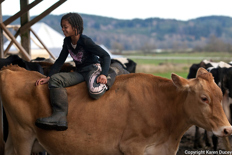 Faith Estrella, 11, plays on a cow named Lover at the Estrella Family Creamery in Montesano,Wash.  on November 4, 2010.  Every cow has a name on the farm.  The Food and Drug Administration ordered the Estrella Family Creamery in Montesano,Wash.  to stop processing cheeses after it found listeria bacteria on some of the cheeses this year.  The family says they have made many renovations on the farm and the bacteria is only found on the soft cheese, not everything.  They believe they should be allowed to resume making cheese and sell the hard cheeses they have already made at the facility.  The creamery is one of Washington's most famous artisan cheesemakers.  (photo credit Karen Ducey). .