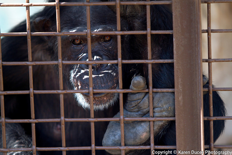Jamie, a 37-year-old chimpanzee at the Chimpanzee Sanctuary Northwest in Cle Elem, Wash., holds onto the grille of a window. Formerly used in a biomedical testing facility she and six other chimps were rescued in 2003 and enjoy living on a 26-acre farm. (© Karen Ducey Photography