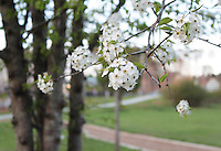 Stock photo: Delicate beautiful cherry blossom flowers branch hanging in a park and a small road seen behind blurred.