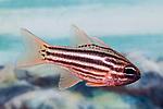 Striped cardinal fish swimming right