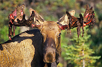 Bull moose shedding velvet in early fall.  Alaska.