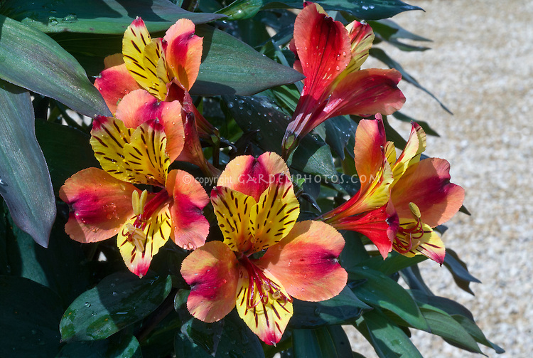 Alstroemeria 'Indian Summer' red pink orange yellow flowers with stripes markings