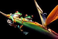 red-eyed treefrog, Agalychnis callidryas, male, female, pair, on bird of paradise flower, Costa Rica (c)