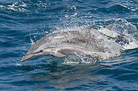 Striped Dolphin, Stenella Coeruleoalba, porpoising at great speed, Maldives, Indian Ocean