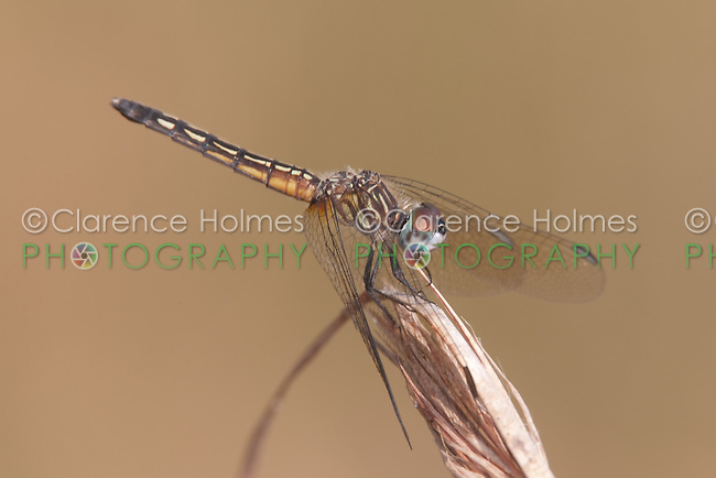 Blue Dasher (Pachydiplax longipennis) Dragonfly - Female, Lake Kissimmee State Park, Lake Wales, Polk County, Florida