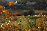 Europe/France/Limousin/19/Corrèze/Plateau de Millevaches/Env Meymac: Brebis en pâturage et ferme limousine