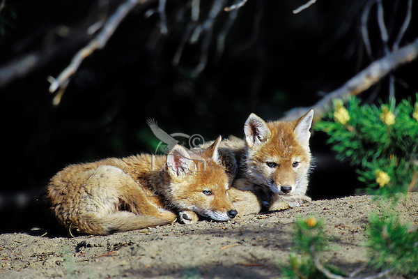 Two wild coyote pups rest near their den.  Western U.S., June.