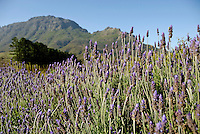 Lavender flowers nearby Stellenbosch, South Western Cape, South Africa