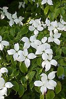 Japanischer Blumen-Hartriegel, Blumenhartriegel, Japanischer Blüten-Hartriegel, Blütenhartriegel, Cornus kousa kousa, Japanese Dogwood