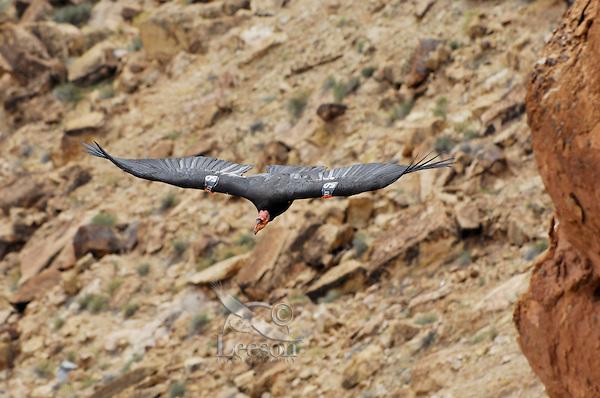 California Condor (Gymnogyps californianus) flying in Marble Canyon, Grand Canyon National Park, Arizona.