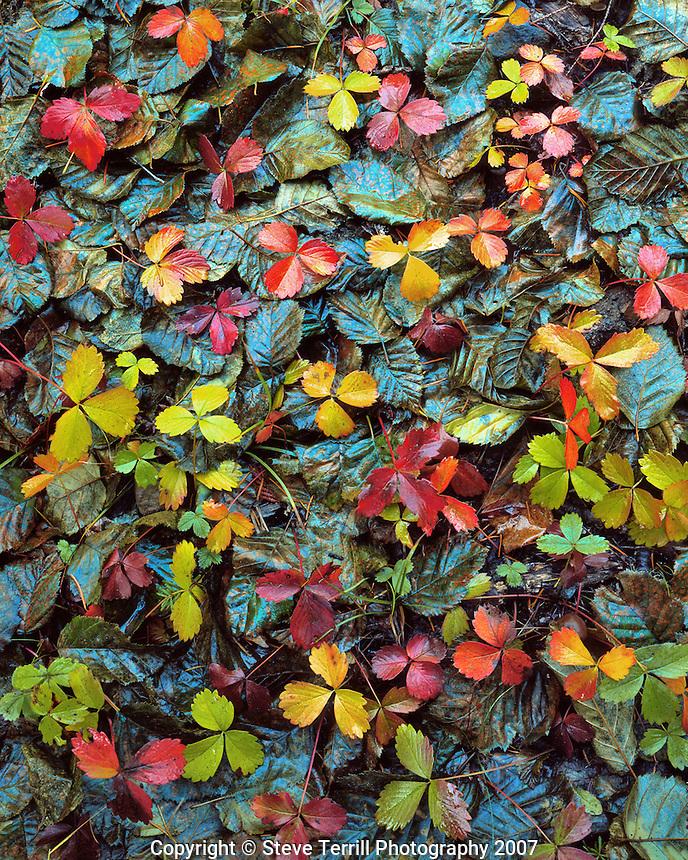 Wild strawberry and alder leaves in Mt Hood National Forest, Oregon