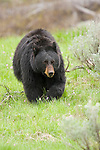 Portrait of a black bear grazing in Yellowstone National Park, Wyoming.