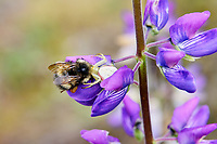 Flower Crab spider (Misumena spp.) with bumblebee on lupine wildflower.  Pacific Northwest.  Summer.