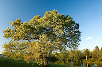 A large tree in Charlotte, NC. Berewick master-planned community in southwest Mecklenburg County, Charlotte, NC. The property is developed by Pappas Properties.