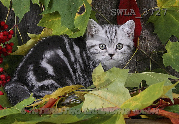 Carl, ANIMALS, photos(SWLA3727,#A#) Katzen, gatos