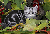 Carl, ANIMALS, photos(SWLA3727,#A#) Katzen, gatos