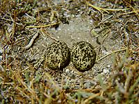 Rotflügel-Brachschwalbe, Nest, Bodennest mit Eiern, Ei, Eier, gut auf dem Untergrund getarnt, Rotflügelbrachschwalbe, Brachschwalbe, Brachschwalben, Glareola pratincola, collared pratincole, common pratincole, red-winged pratincole, nest, egg, eggs, La Glaréole à collier