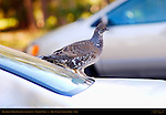 Blue Grouse Hood Ornament, Sage Grouse, Centrocercus urophasianus, Rainbow Point, Bryce Canyon National Park, Utah
