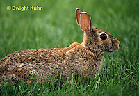 MA24-014z  Cottontail Rabbit  - Sylvilagus floridanus