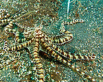 A mimic octopus trying to escape divers (including the photographer) tries to conform and move with the shape of brown algae along the sandy bottom of the Lembeh Strait.<br /> <br /> The mimic octopus was not discovered officially until 1998, off the coast of Sulawesi, Indonesia. This is the only octopus known to mimic the appearance and mannerisms other species.  Mimic octopus have been known to imitate more than fifteen different species, including sea snakes, lionfish, flatfish, brittle stars, giant crabs, sea shells, stingrays, flounders, jellyfish, sea anemones, and mantis shrimp.
