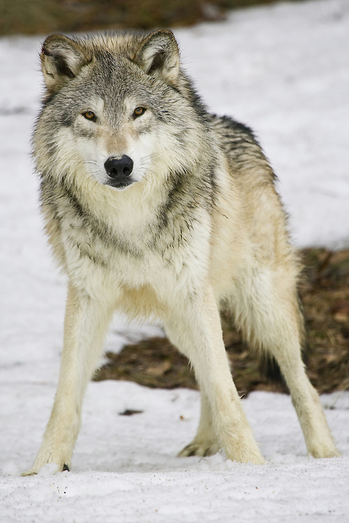 Grey Wolf (canis lupus) standing on the snow staring intently near Kalispell, Montana, USA - Captive Animal
