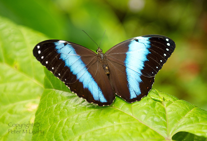 Large Beautifully Colored Blue and Black Butterfly on a leaf