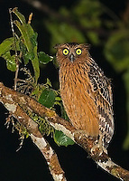 This buffy fish owl liked to hunt near the lit grounds of the Borneo Rainforest Lodge at night.