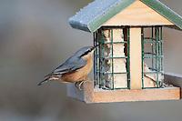 Kleiber, an der Vogelfütterung, Fütterung im Winter bei Schnee, an Häuschen mit Fettfutter, Energiekuchen, Winterfütterung, Spechtmeise, Sitta europaea, Nuthatch, Sittelle torchepot