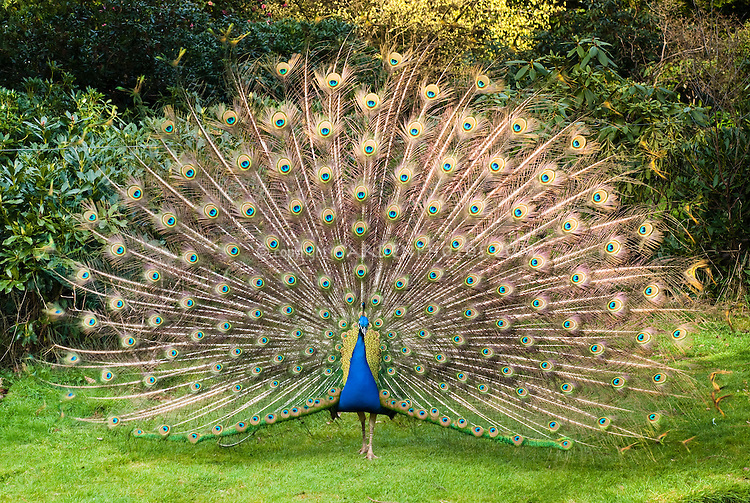 Peacock Male Bird Poultry with full spread feathers proud display in yard