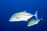 Bluefin Trevally Caranx melampygus, Cocos Island, Costa Rica, Pacific Ocean
